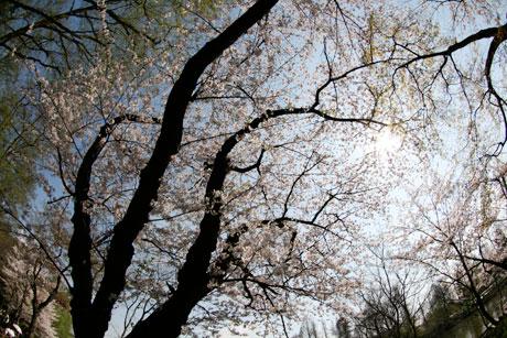 井の頭恩賜公園 桜 お花見 2009