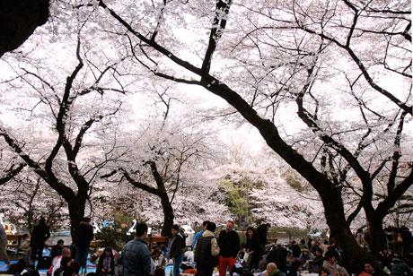 吉祥寺 桜  井の頭公園(井の頭恩賜公園)2010