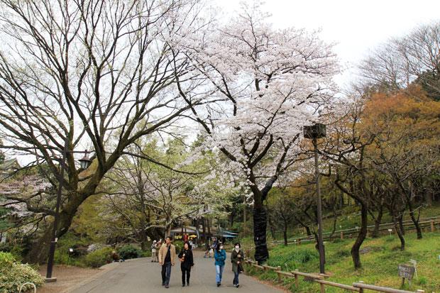 井の頭公園 桜情報
