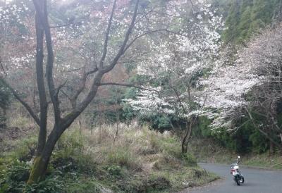 帰り道の桜