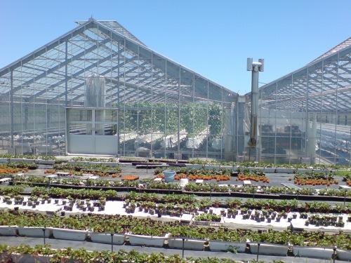 トマトとイチゴの栄養水による栽培か