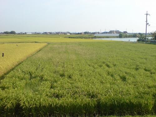 この田圃は雑草が多いけどひょっとして無農薬?