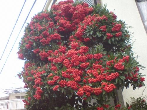 ピラカンサの赤い実