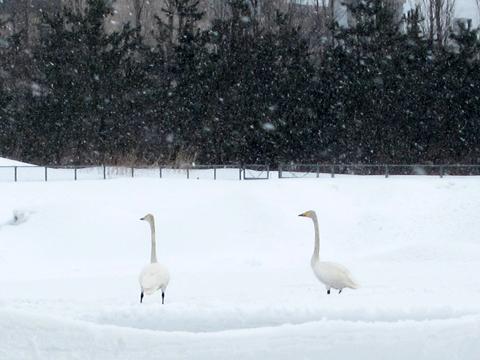 雪かき02白鳥