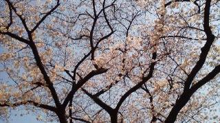 一ツ木公園の桜
