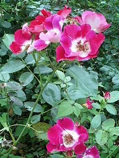 氷川公園のバラ