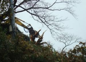 桜の木撤去中