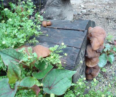 大楠の民家の軒先 ご立派なアラゲキクラゲ