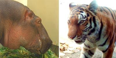 福岡市動植物園 カバとトラ