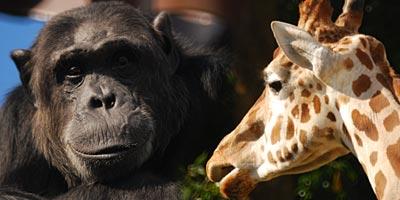 福岡市動植物園 チンパンジーとキリン