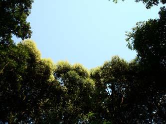 高宮自然遊歩道 見上げた若葉と空