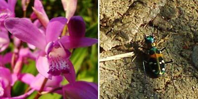 高宮自然遊歩道 花とハンミョウ