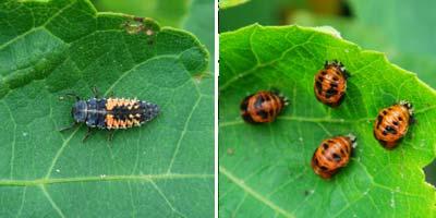 テントウムシさなぎと幼虫