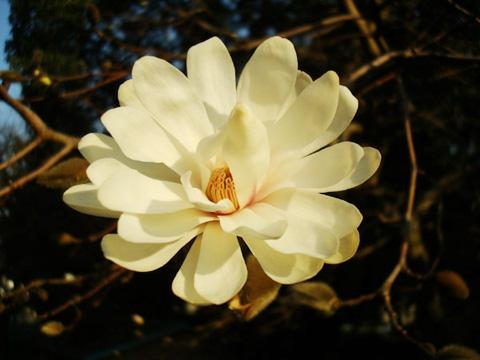 ハクモクレン 2012年3月27日 福岡市南区高宮・多賀