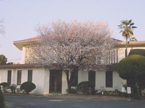 桜 2012年3月27日 福岡市南区高宮カトリック教会
