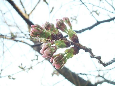 ソメイヨシノ 2012年3月27日 福岡市南区高宮・多賀