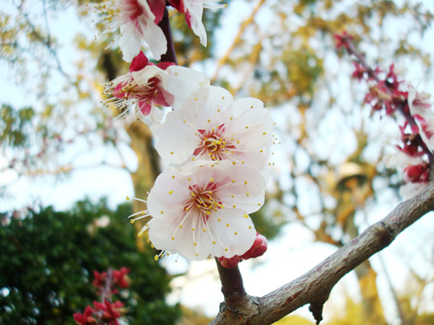 梅 2012年3月27日 福岡市南区高宮・多賀