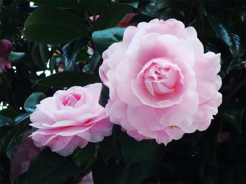 八重咲きの椿 2012年3月27日 福岡市南区高宮・多賀