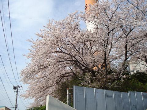 2008年4月11日撮影旧TNC放送会館の桜