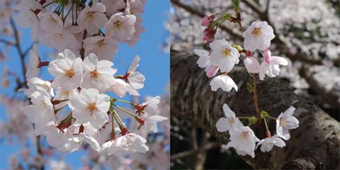 高宮周辺桜2012@福岡市南区平和東緑地