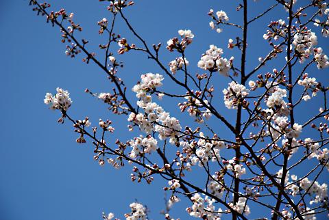 2012桜@福岡市南区平尾霊園