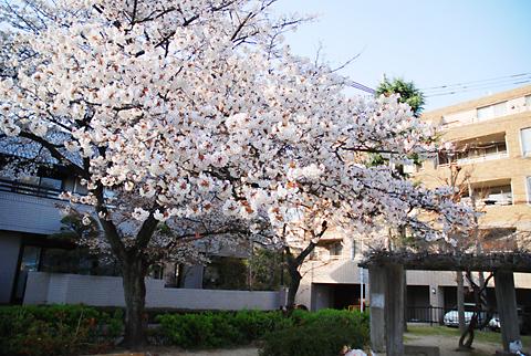2012年高宮周辺桜事情