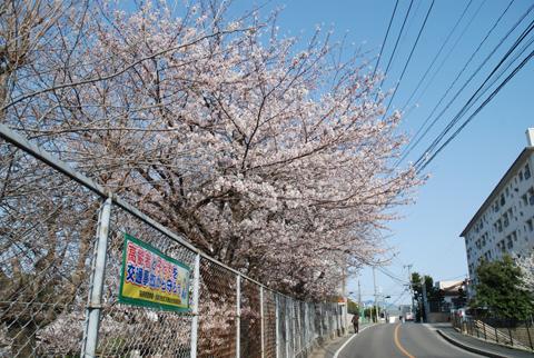 高宮桜事情2012 西高宮小学校