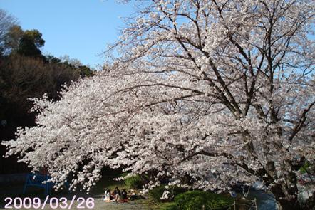 2008年桜@福岡市南区高宮多賀
