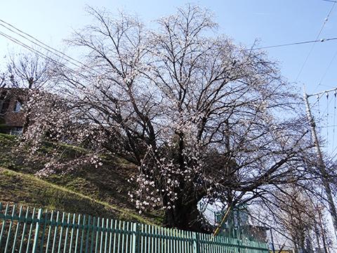高宮浄水場の桜1オオシマ