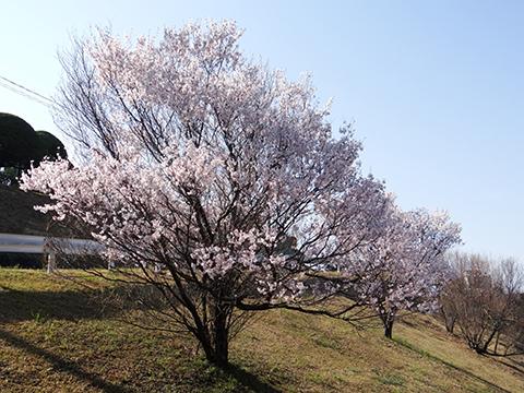 高宮浄水場の桜3