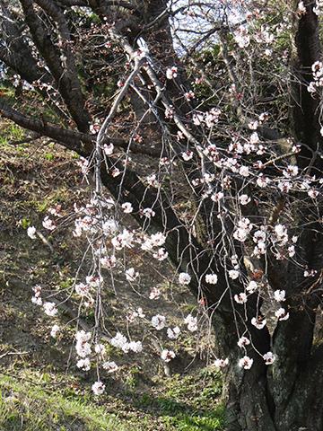 高宮浄水場の桜アップ1