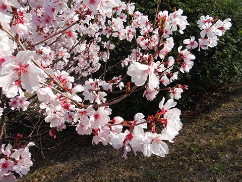 高宮浄水場の桜アップ2