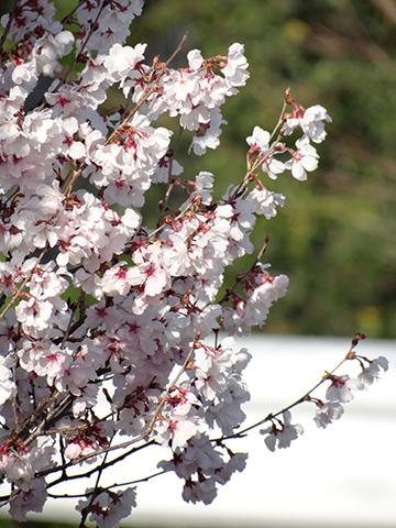 高宮浄水場の桜アップ3