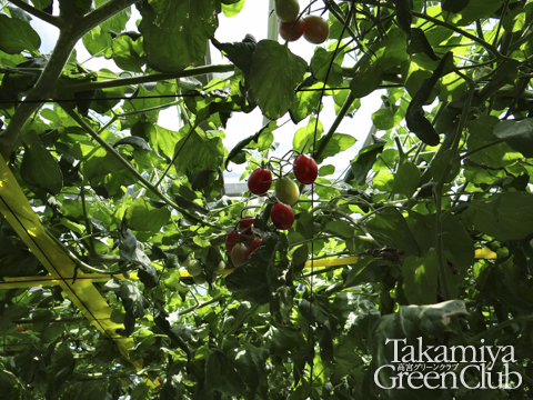水耕栽培のトマト