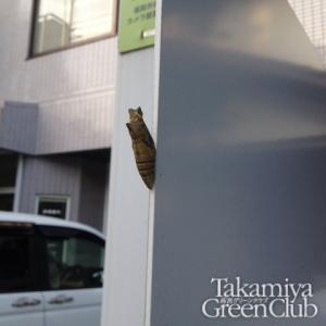 アゲハチョウサナギ20151031