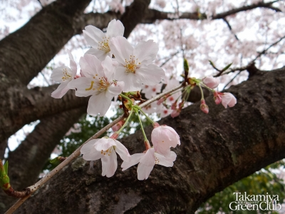 2016桜 上高宮南公園