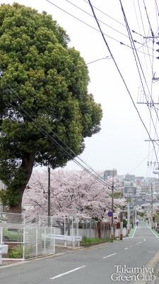 2016桜 上高宮北公園