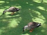 ベスに狙われている鴨