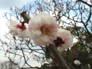 甲東梅園の梅