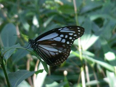 蝶のお出迎え