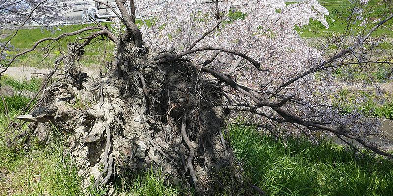 根性桜002.jpg