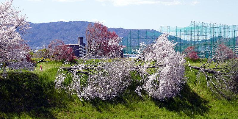 根性桜003.jpg
