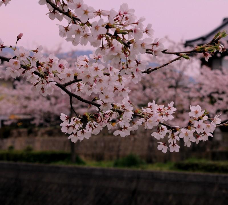 2012桜 bk033.jpg