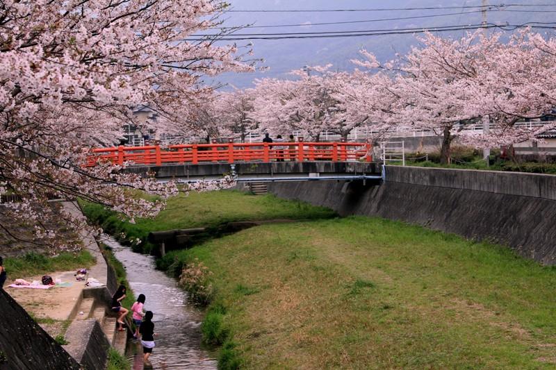 2012桜 bk039.jpg