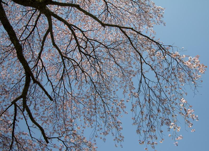 4.16桜老木bk 007.jpg