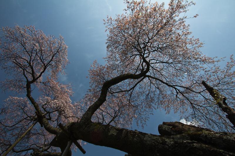 4.16桜老木bk 037のコピー.jpg