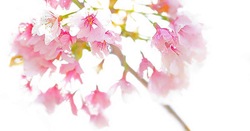 2017桜 bk_edited-2.jpg