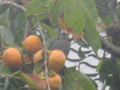 柿の実を食べに来た鳥くん