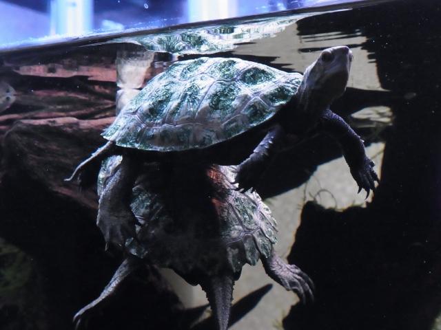 ニホンイシガメ2匹の複数飼育