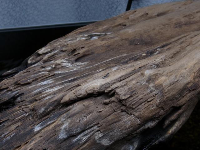 流木の上にニホンイシガメの甲羅の脱皮した欠片が落ちている